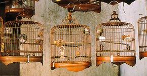 Grote Maina's  op de vogelmarkt Azië