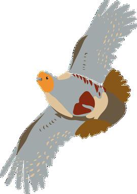 Vliegende patrijs - illustratie Anne-Lieke Struijk-Faber