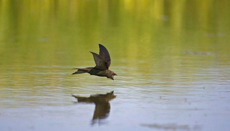 Gierzwaluw  / Agami - Marc Guyt