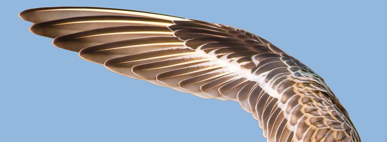 Vleugel van kanoet / Shutterstock