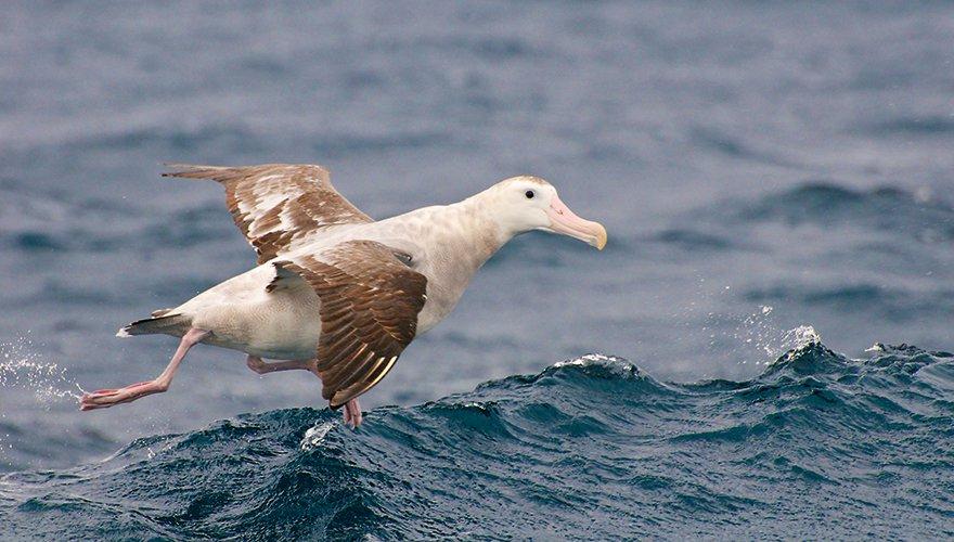 Juveniele albatros / iStock