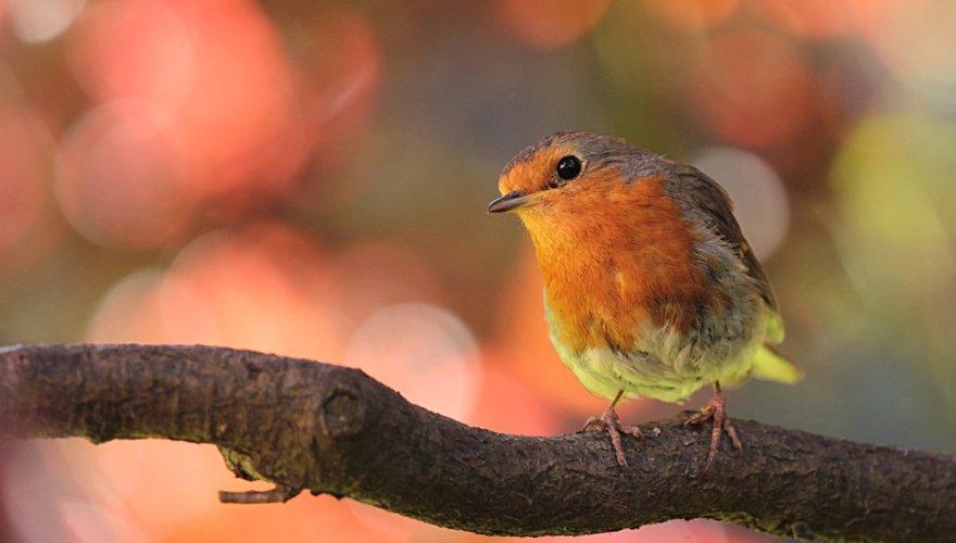 Roodborst Tuinvogeltelling / Pixabay