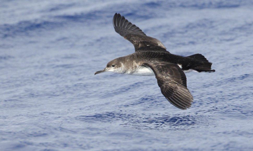 Noordse pijlstormvogel / Agami