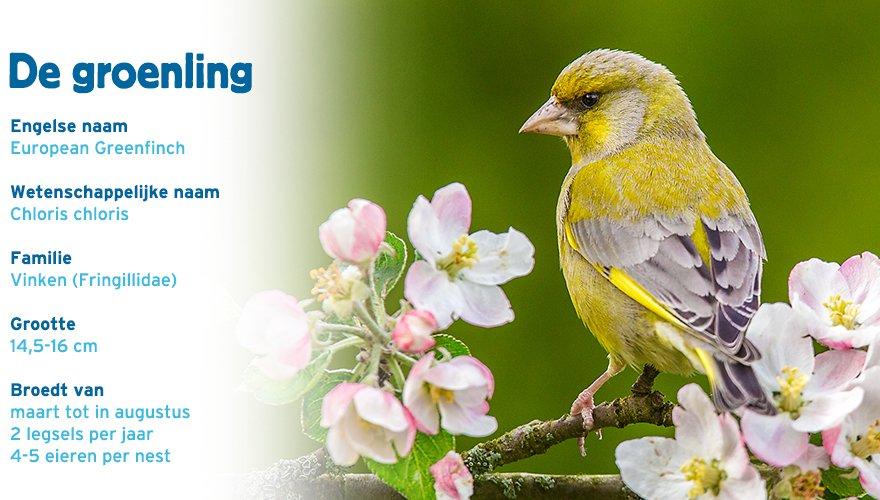 groenling paspoort tuinvogelcursus