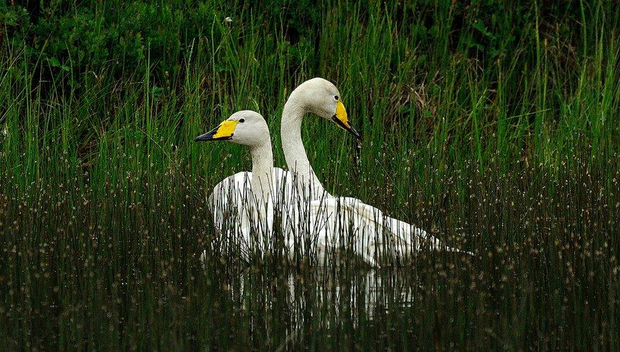 Wilde zwaan / Jelle de Jong