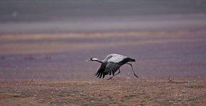 kraanvogel / Arie de Knijff -Saxifraga
