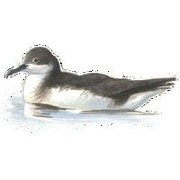 Noordse pijlstormvogel / Elwin van der Kolk