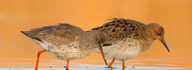 Tureluur / Shutterstock