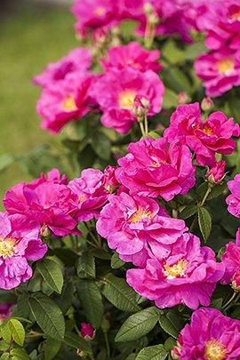 Franse roos / Shutterstock