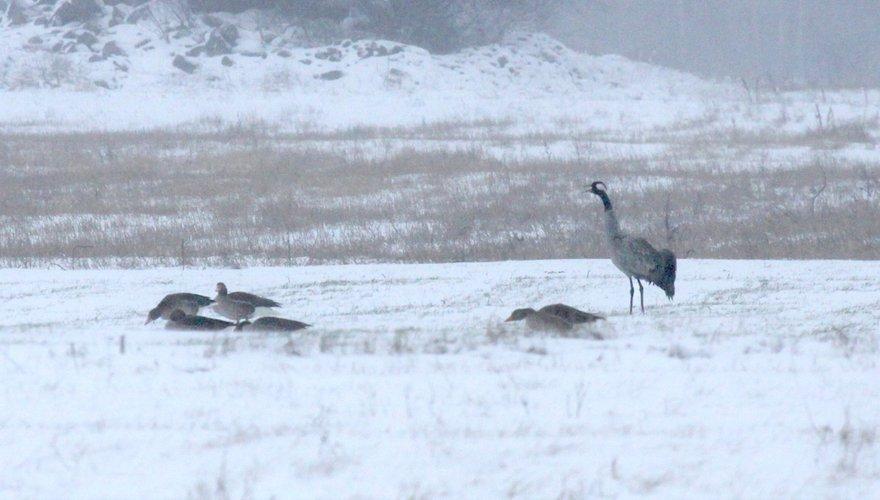 Kraanvogels en grauwe ganzen / Cees Witkamp