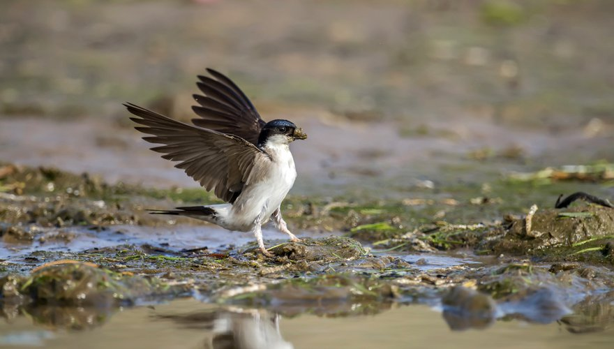 Huiszwaluw / Shutterstock