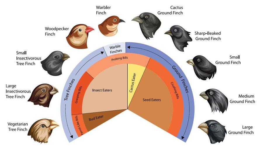 Darwins vinken