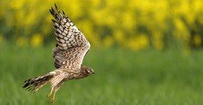 Grauwe kiekendief / Shutterstock