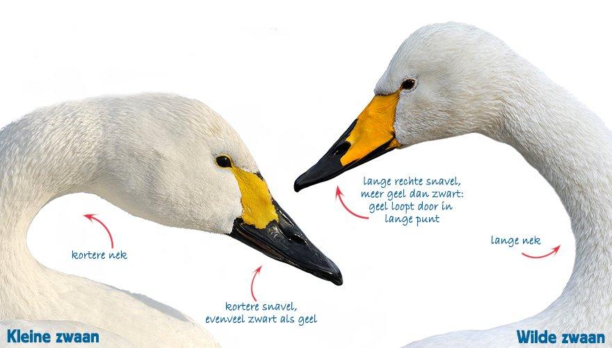 Infographic kleine en wilde zwaan