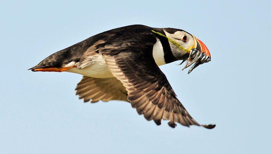 Papegaaiduiker / Pieter Liebe - Fotogalerij
