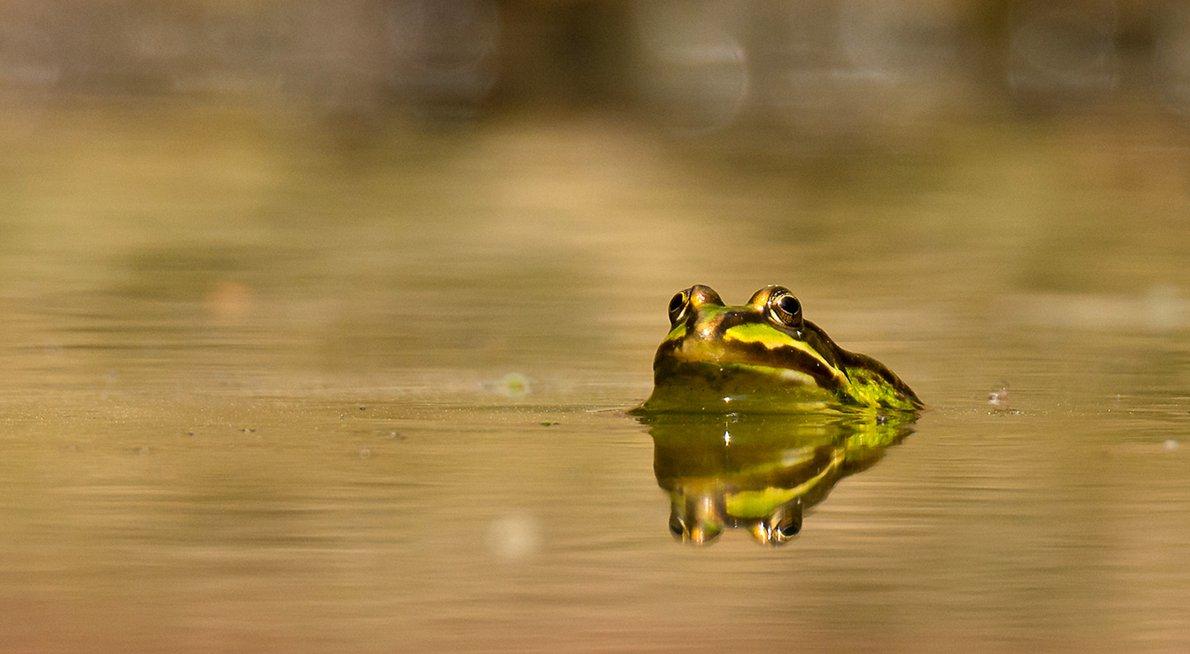 Groene kikker / Hans Peeters