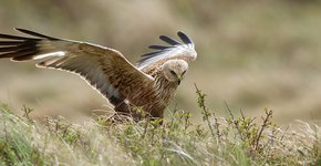 Bruine kiekendief / Shutterstock