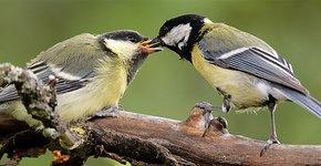 Koolmees met jong / Shutterstock