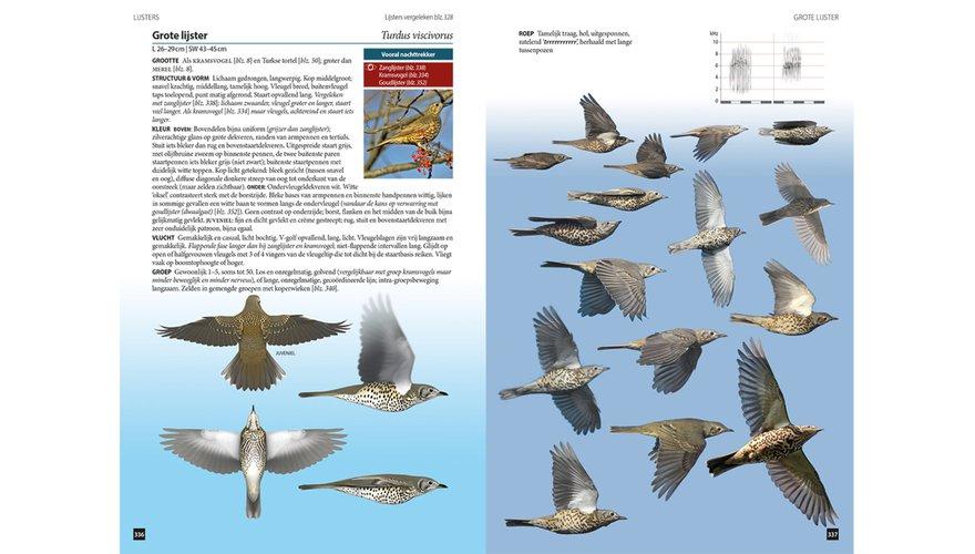 Spread grote lijster Vogels in vlucht