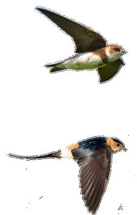 Oeverzwaluw en roodstuitzwaluw / Shutterstock