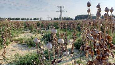 Poppy field / Jenni Vreugdenhil