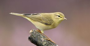 Fitis / Birdphoto