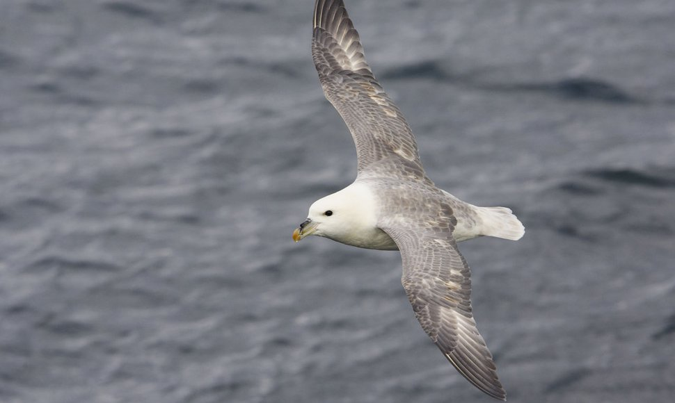 Noordse stormvogel / Agami