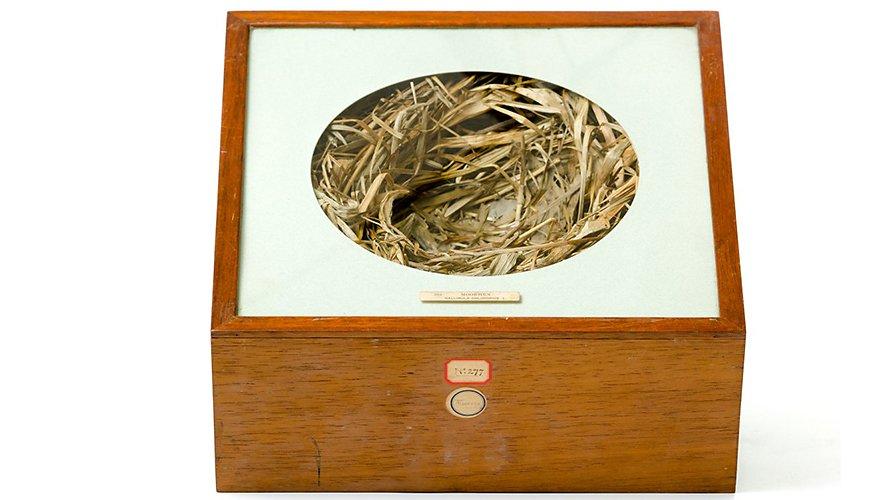 Meerkoet nest / Lars Soerink