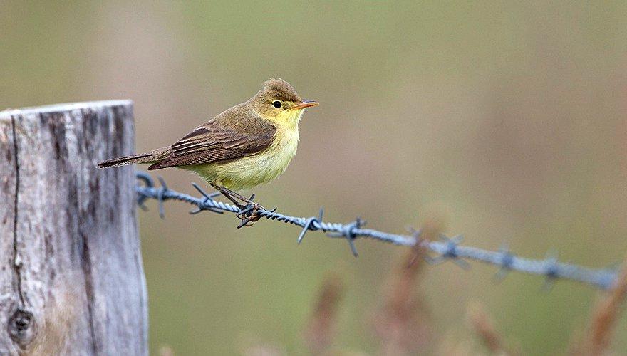 Orpheusspotvogel / Co van der Wardt