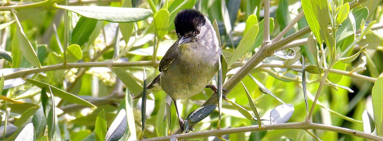 Zwartkop in olijfboom / Shutterstock