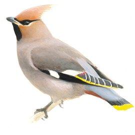 Pestvogel / Elwin van der Kolk