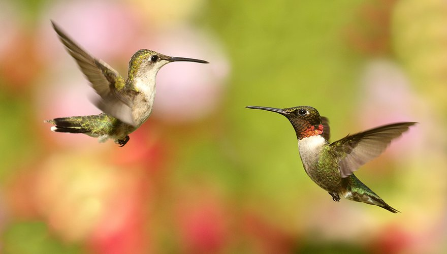 Ruby-throated Hummingbirds / Shutterstock