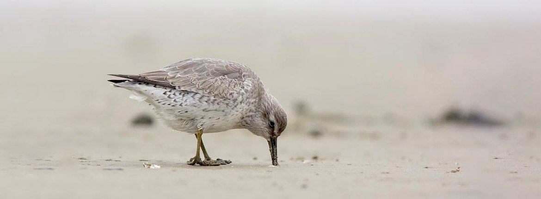 Kanoet / Edward (Vogelweb)