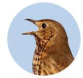 Kop zanglijster / Shutterstock