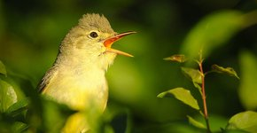 Spotvogel / Shutterstock