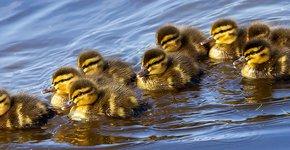 Jonge wilde eenden / Shutterstock