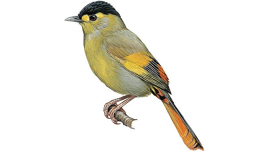 Bugun timalia / BirdLife