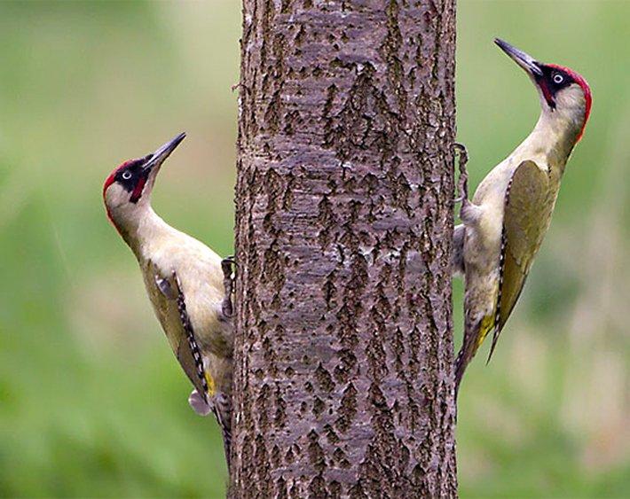 Groene specht / Birdphoto