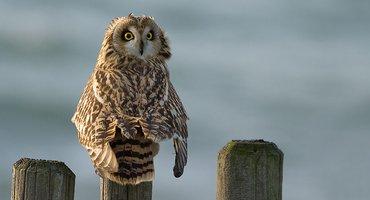 Velduil / Birdphoto
