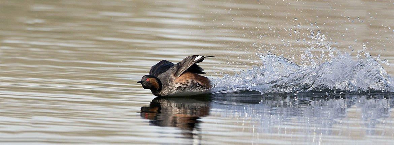 Geoorde fuut / Birdphoto