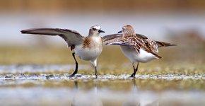 Kleine strandloper / Shutterstock