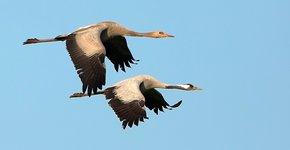 Kraanvogel / Birdphoto