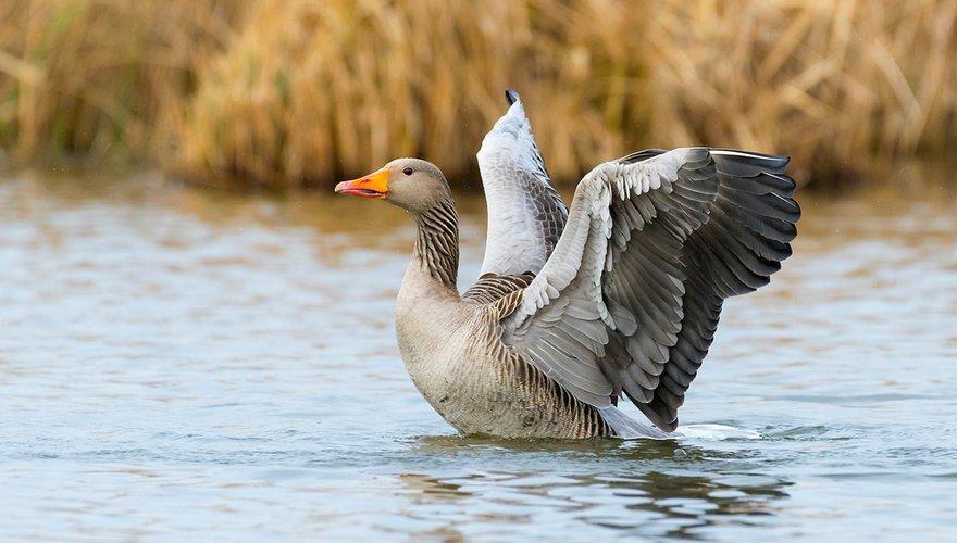 Grauwe gans / Shutterstock