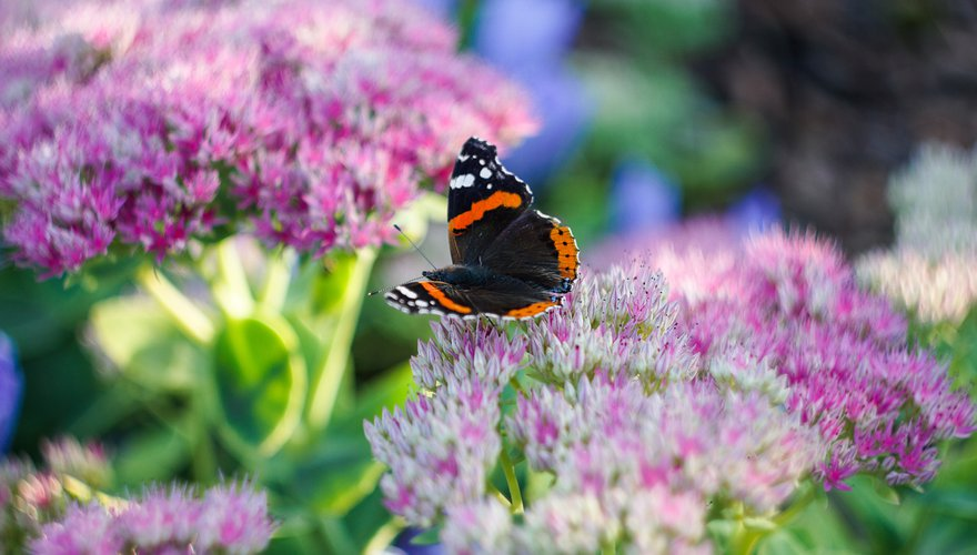 Atalanta hemelsleutel / Shutterstock