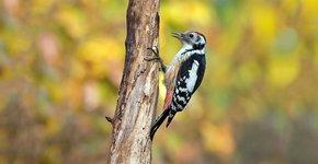 Middelste bonte specht / Birdphoto