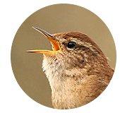 Kop winterkoning / amkeizer (Vogelweb)