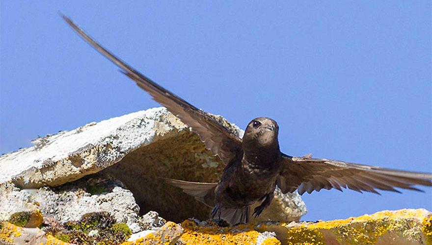 Gierzwaluw / Vogeldagboek - Adri de Groot
