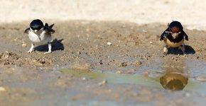 Huiszwaluw en boerenzwaluw / Shutterstock