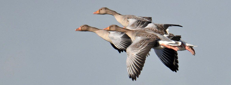 Grauwe gans / A.J. van Bommel - Fotogalerij