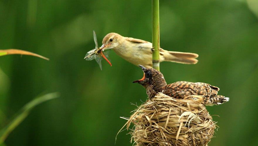 Koekoek en kleine karekiet / Shutterstock